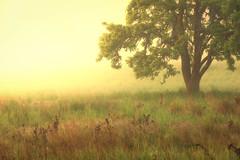 Foggy Daybreak (llabe) Tags: daybreak tree fog fortsteilacoompark lakewood washington nikon d750