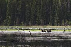 Marshy Moose (JeffAmantea) Tags: marsh wetland swamp moose wildlife animal animals landscape tree trees water dead mosquito outdoor outside camp kelowna bc british columbia canada okanagan sony alpha sonyalpha a7ii emount mirrorless nikon nikkor 100mm 28 metabones