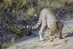 Cheeta - Masai Mara - Kenya 2003 (wietsej) Tags: cheeta masai mara kenya 2003 minoltamaxxum9xi 9xi analoge film srl dynax animal