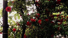 Borjomi (Anna Gelashvili) Tags: цветокроза роза rose flower цветок flowers цветочки garden красныецветочки roseflower ვარდი წითელივარდი