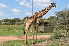 MASAI GIRAFFE (stewartbentley46) Tags: africa giraffe masaigiraffe serengetinp tanzania