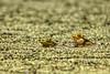 Froschliebe (airamatina) Tags: frosch teich wald grün nikon d 750