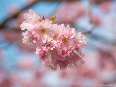 Cherry blossom (✦ Erdinc Ulas Photography ✦) Tags: lenstagger japanese japan tree cherry pink spring focus minolta bokeh wood flower flowers smooth background panasonic netherlands holland leaf detail sky blue blossom macro