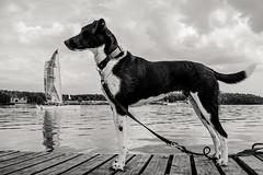 Sail away (mripp) Tags: art vintage dog pet black white bavaria see water sailing sony rx1rii