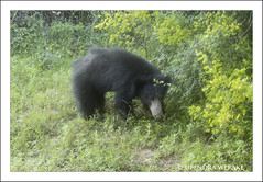 Sri Lankan Sloth Bear (Upendra Werake) Tags: bear sloth sri lanka yala canon wildlife safari nocturnal elusive
