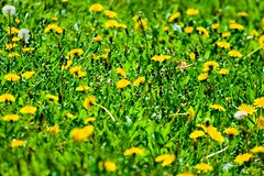 Spring is here (vinnie saxon) Tags: spring nature colors green yellow dandelion flower