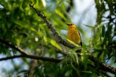 Prothonotary Warbler (jwfuqua-photography) Tags: backyardbirds nature jwfuquaphotography peacevalleynaturecenter jerrywfuqua pennsylvania prothonotarywarbler buckscountyparks buckscounty birds