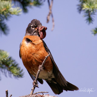 Robin With Feast of Worms