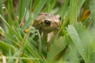 Froglet 2
