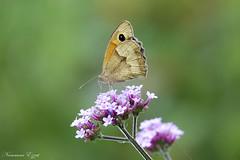 Le Myrtil (Maniola jurtina) (Ezzo33) Tags: france gironde nouvelleaquitaine bordeaux ezzo33 nammour ezzat sony rx10m3 parc jardin papillon papillons butterfly butterflies specanimal myrtil maniola jurtina