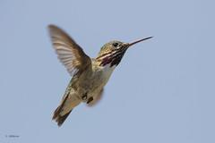 Calliope Hummingbird / Colibri calliope (shimmer5641) Tags: selasphoruscalliope calliopehummingbird colibricalliope colibrícalíope smallestbirdinnorthamerica birdsofbritishcolumbia birdsofnorthamerica