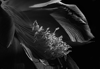 Clown Epiphyllym Flower In Black And White