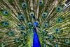 Male Peacock (Carlos Sobrino) Tags: birds nikon peacock fauna csobrino flickelite