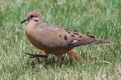 Zenaida Dove (btrentler) Tags: rico puerto bird dove zenaida