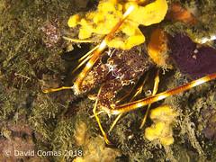 Roses - El Bisbe (CATDvd) Tags: canonpowershots120 fotosub underwaterphotography catalonia catalunya parcnaturalcapdecreus roses elbisbe may2018 catdvd davidcomas httpwwwdavidcomasnet httpwwwflickrcomphotoscatdvd langosta llagosta lobster