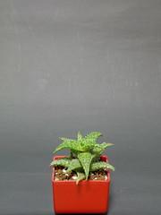 20180616_アロエ_ソマリエンシス (夏アユミ (NATSU, Ayumi)) Tags: 植物 多肉植物 アロエ succulent aloe