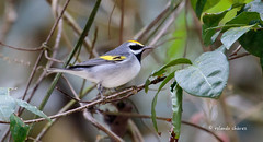 Golden-winged Warbler (rolando chdm) Tags: goldenwingedwarbler vermivorachrysoptera chipealasamarillas naha chiapas mexico aves birds neotropics birdingchiapas