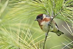 Bay-breasted Warbler (Chi Ken Yeung) Tags: baybreastedwarbler nikond750 tamronsp150600mmf563divcusdg2