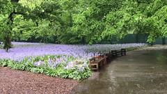 Peak Spanish Bluebells in Spring  -  IMG_8181 (Toby Garden) Tags: brooklynbotanic brooklyn botanic garden new york spanish blue bell spring