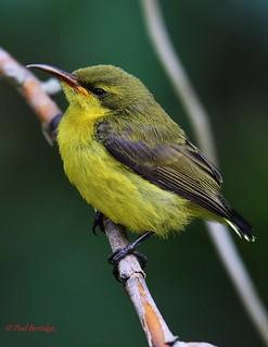 Olive Backed Sunbirds