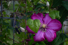 Einfach lila I