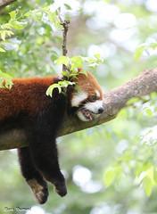 Hot Panda (Mark Dumont) Tags: animals cincinnati dumont mammal mark panda red zoo