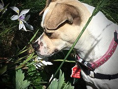 And Time to Smell the Flowers (Emily1957) Tags: maya dog chihuahua flower light naturallight iphone garden