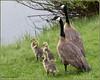 Canada Geese Family 5482 (maguire33@verizon.net) Tags: canadagoose bird goose gosling wetlands wildlife jackson wyoming unitedstates us