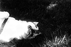 Horizontal Derp (A.C.Bya) Tags: bw black white dog derp leicam5 film filmisnotdead grayscale gameoftones ilford leica monochrome nokton siberianhusky voigtlander husky