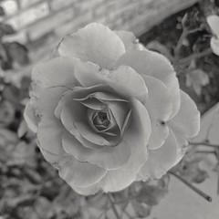 Rose (Thad Zajdowicz) Tags: rose flower blossom bloom petals flora plant zajdowicz pasadena california usa nature blackandwhite bw black white monochrome fineart availablelight snapseed cellphone samsunggalaxys9 square 1x1