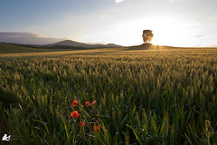 Le dominant (Ben Mouleyre Photographie) Tags: auvergne auvergnerhônealpes sunset puydedôme coucherdesoleil couleurs champs arbres coquelicot poppy tree contrejour nisifilter nisi