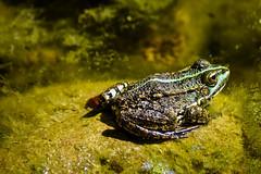 Grenouille dans son étang (thierrybalint) Tags: grenouille batracien eau water mare bassin basin nikon nikoniste jardinbotanique faune marseille parcborély boréjy parc macro