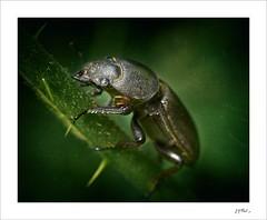 The black knight #1 (Jack O'Donate) Tags: ilce7rm2 canon65mmf28macrompe coleoptera macro
