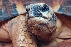 Tortoise Portrait (garry_dav) Tags: aaw activeassignmentweekly bestofweek1 bestofweek2 bestofweek3