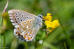 butterfly (louisejames1967) Tags: butterfly wings buttercup flower spots leaf grass