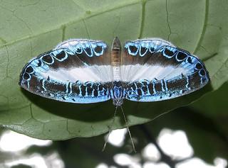 Nymphidium mantus