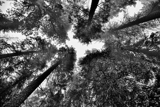 Sequoia and Evergreen Forest Explored (Black & White, Sequoia National Park)