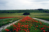 Beautiful sea of red poppies cascading down a hill. (Lindsey_H) Tags: poppyfield ukpoppies fieldofredpoppies papaverrhoeas