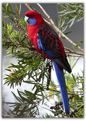Crimson Rosella (Bear Dale) Tags: one more common but just beautiful birds that we get see enjoy ulladulla south coast new wales australia nikon d850 nikkor afs 200500mm f56e ed vr crimson rosella dale red feathers bottle brush lake conjola nature fotoworx beardale lakeconjola shoalhaven southcoast framed aves pájaro oiseau desoiseaux lanature naturaleza faune faunasilvestre photo photograph groups group flickr naturephotography