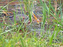 Garza imperial (Ardea  purpurea) (70) (eb3alfmiguel) Tags: aves acuaticas ciconiiformes ardeidae de garza imperial ardea purpurea pájaros hierba pájaro animal agua