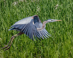 Great Blue Heron (Glenn R Parker) Tags: greatblueheron herons