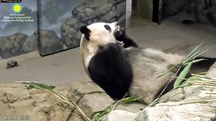 2018_06-10i (gkoo19681) Tags: meixiang beautifulmama sopretty proudmama adorableears fuzzywuzzy naptime toocute adorable precious perfection amazing darling bigyawn toofers ccncby nationalzoo