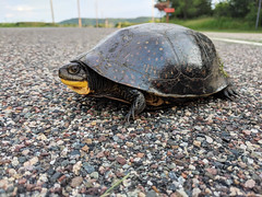 Blanding's Turtle Crossing (U.S. Fish and Wildlife Service - Midwest Region) Tags: minnesota mn spring summer june 2018 blandingsturtle turtle reptile threatened rare animal wildlife nature road departmentofnaturalresources dnr partner