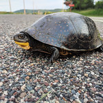 Blanding's Turtle Crossing thumbnail