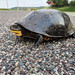 Blanding's Turtle Crossing