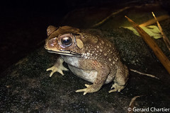 Duttaphrynus melanostictus (Asian Common Toad or Black-spectacled Toad) (GeeC) Tags: amphibia animalia anura asiancommontoad blackspectacledtoad bufonidae cambodia chordata duttaphrynus duttaphrynusmelanostictus frogstoads hyloidea kohkongprovince nature tatai