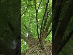 Horse Chestnut (Aesculus hippocastanum) - canopy - June 2018 (Exeter Trees UK) Tags: horse chestnut aesculus hippocastanum canopy june 2018