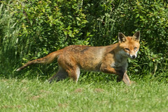 FOX (_jypictures) Tags: animalphotography animals animal canon7d canon canonphotography wildlife wildlifephotography wiltshire nature naturephotography photography pictures fox cubs ukwildlife