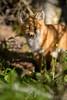 Quadrillage (jlf_photo) Tags: renard roux quebec canada wildlife faune sauvage