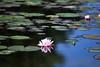 water lily (pontla) Tags: flower lily lake
